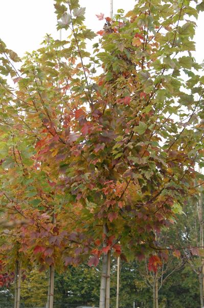 Acer rubrum 'October Glory' / Rotahorn 'October Glory'
