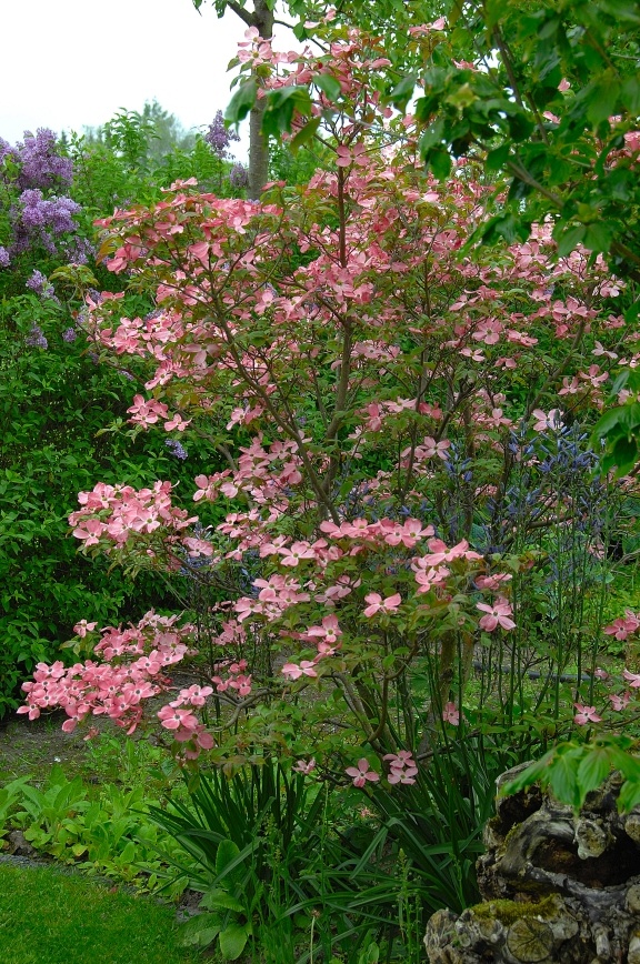 Cornus florida 'Cherokee Brave' / Blumenhartriegel 'Cherokee Brave'