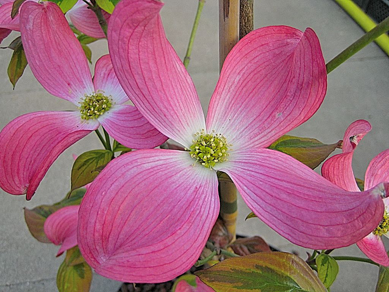 Cornus florida 'Cherokee Sunset' / Blumenhartriegel 'Cherokee Sunset'