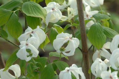 Cornus florida 'Cloud Nine' / Blumenhartriegel 'Cloud Nine'