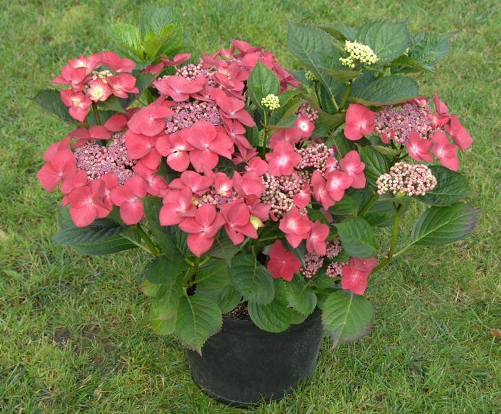 Hydrangea macrophylla 'Kardinal' / Tellerhortensie 'Kardinal'