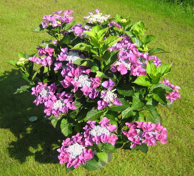 Hydrangea macrophylla 'Nizza' / Tellerhortensie 'Nizza'