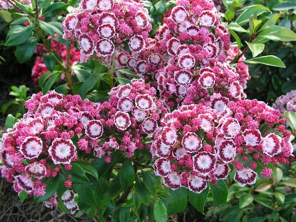Kalmia latifolia 'Bandeau' / breitblättrige Lorbeerrose 'Bandeau'