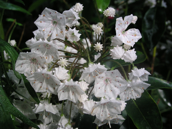 Kalmia latifolia 'Eskimo' / breitblättrige Lorbeerrose 'Eskimo'