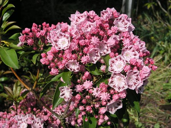 Kalmia latifolia 'Ginkona' / breitblättrige Lorbeerrose 'Ginkona'