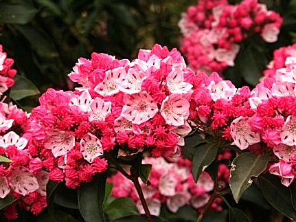 Kalmia latifolia 'Heart of Fire' / breitblättrige Lorbeerrose 'Heart of Fire'