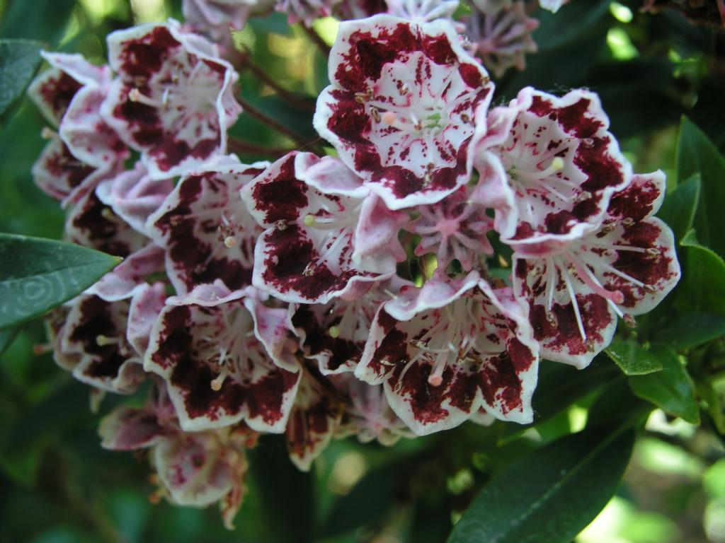 Kalmia latifolia 'Minuet' / breitblättrige Lorbeerrose 'Minuet'