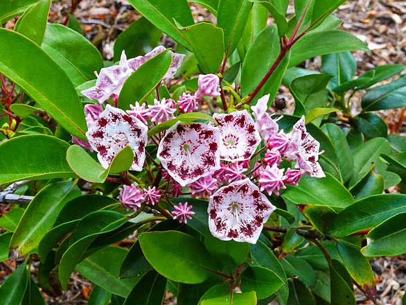 Kalmia latifolia 'Olympic Wedding' / breitblättrige Lorbeerrose 'Olympic Wedding'