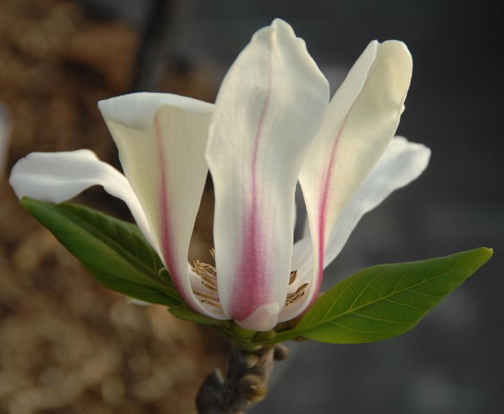 Magnolia hybrida 'Sunrise' / Magnolie 'Sunrise'