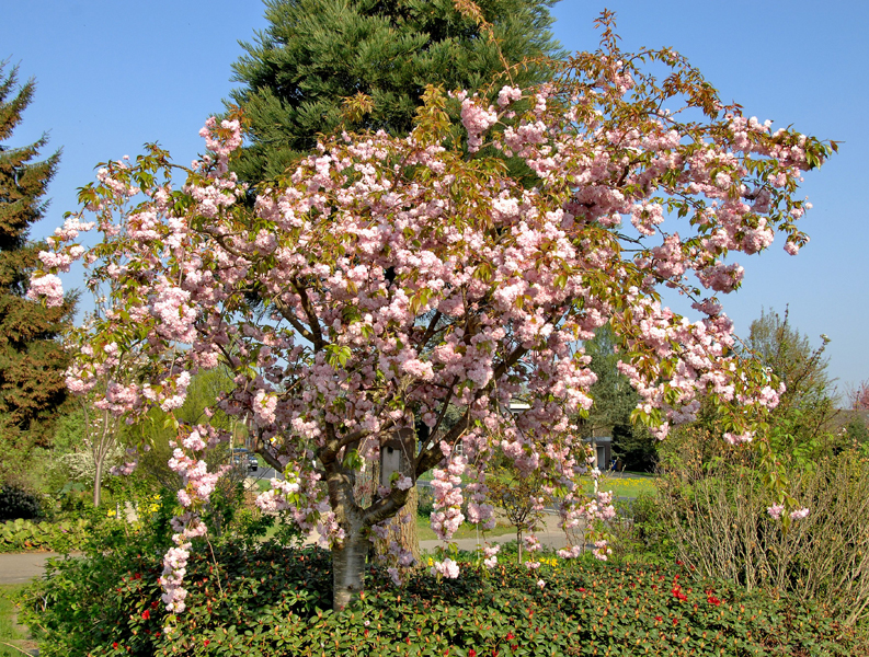 Prunus serrulata 'Kiku-Shidare-Zakura' / hängende Nelkenkirsche