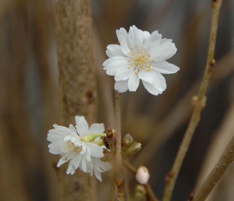 Prunus subhirtella 'Autumnalis' / Zierkirsche 'Autumnalis'