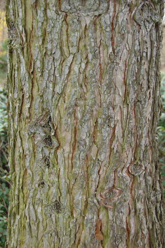 Sequoiadendron giganteum / Mammutbaum