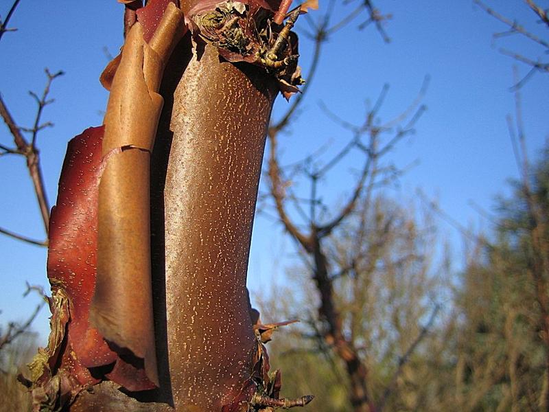 Acer griseum / Zimtahorn