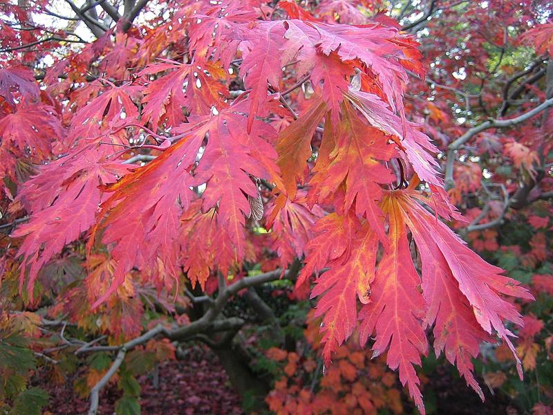 Acer japonicum 'Aconitifolium' / Japanischer Feuerahorn