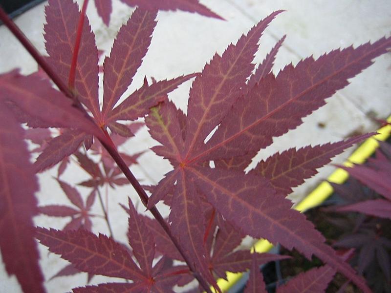 Acer palmatum 'Atropurpureum' / Roter Fächerahorn