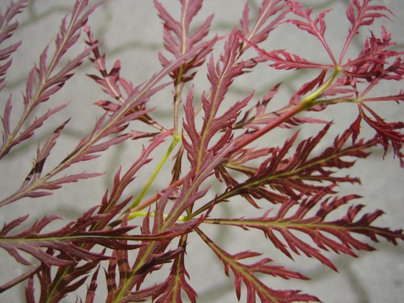 Acer palmatum 'Dissectum Atropurpureum' / 'Ornatum' / Roter Schlitzahorn