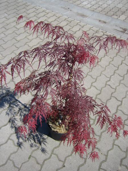 Acer palmatum 'Garnet' / Dunkelroter Schlitzahorn