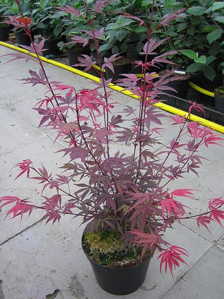 Acer palmatum 'Shaina' / Fächerahorn 'Shaina'