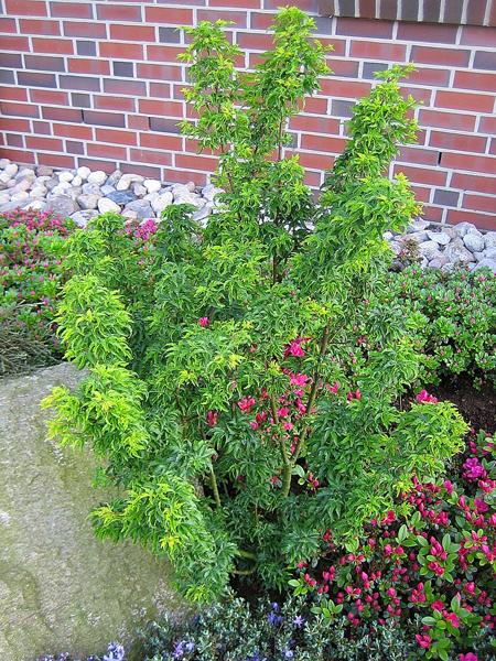 Acer palmatum 'Shishigashiri' / Fächerahorn 'Shishigashiri'
