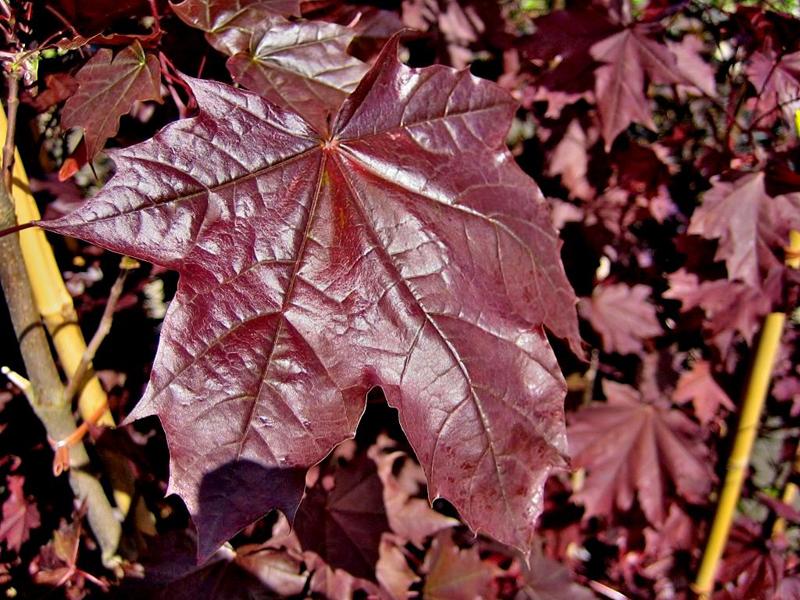 Acer platanoides 'Faassens Black' / Spitzahorn 'Faassens Black'