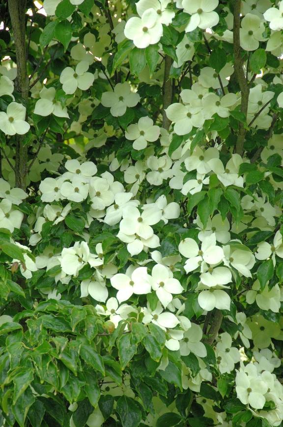 Cornus kousa 'Teutonia' / Blumenhartriegel 'Teutonia'