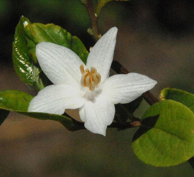 Styrax japonica / Storaxbaum