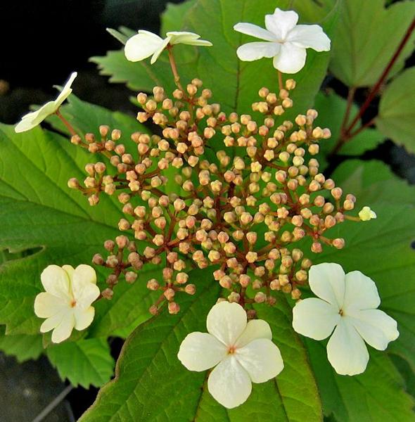 Viburnum sargentii 'Onondaga' / Schneeball 'Onondaga'