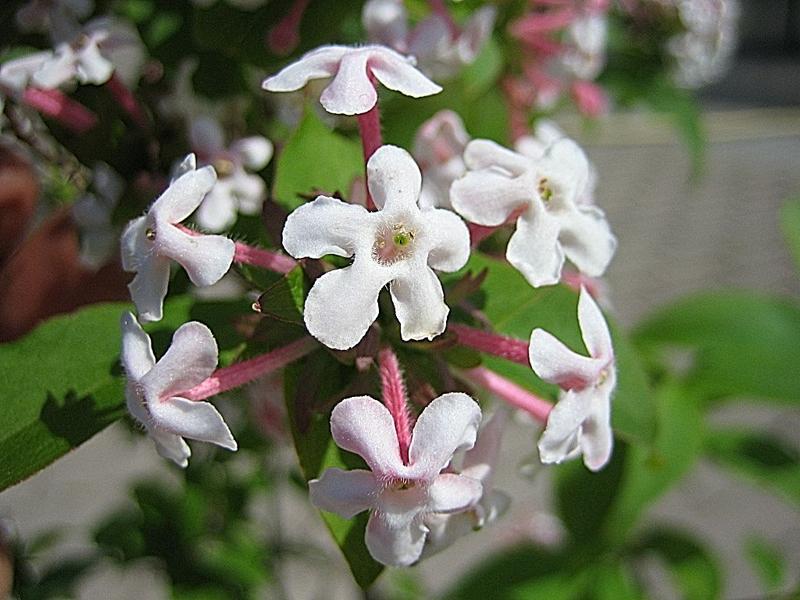 Abelia mosanensis / Koreanische Abelie