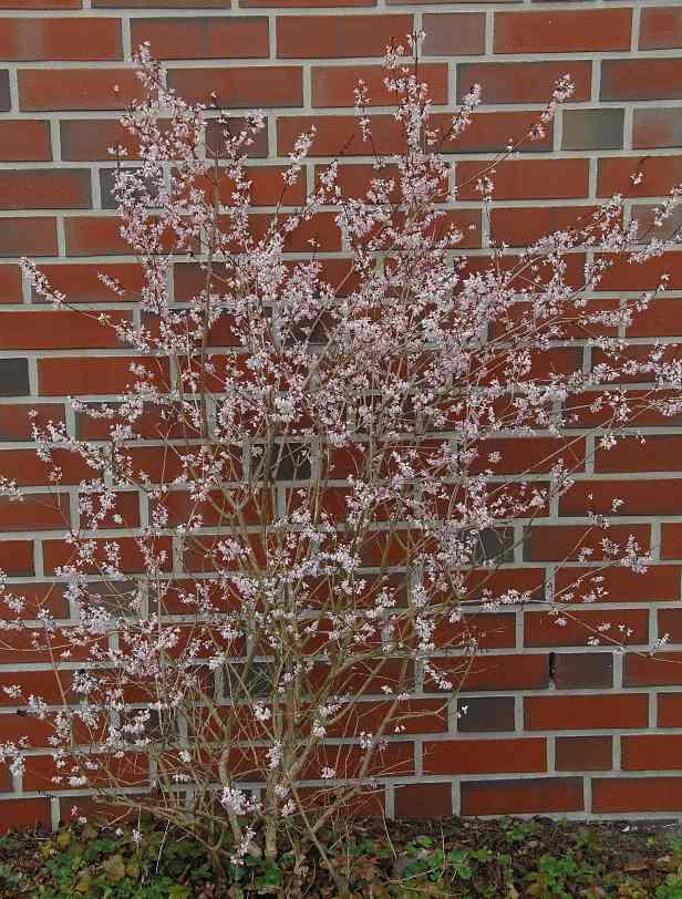 Abeliophyllum distichum / Weiße Forsythie