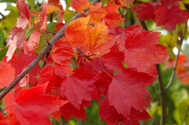 Acer rubrum 'Brandywine' / Rotahorn 'Brandywine'