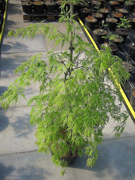 Acer palmatum 'Dissectum' / Grüner Schlitzahorn