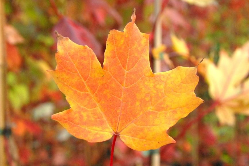 Acer saccharum / Zuckerahorn
