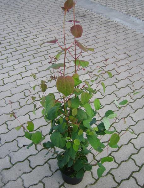 Cercidiphyllum japonicum / Kuchenbaum