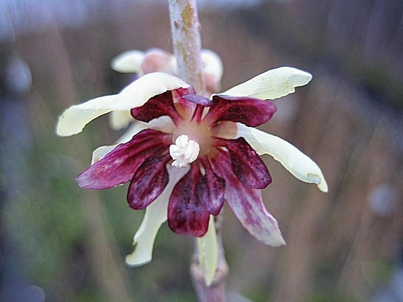 Chimonanthus praecox / Winterblüte