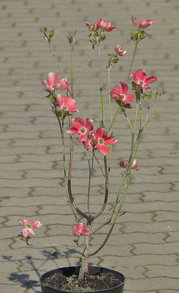 Cornus florida 'Rubra' / Roter Blumenhartriegel