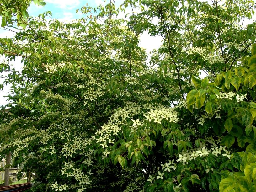 Cornus kousa / Japanischer Blumenhartriegel