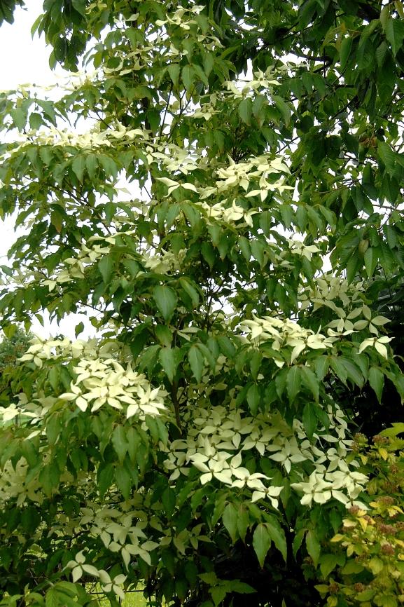 Cornus kousa 'Schmetterling' / Blumenhartriegel 'Schmetterling'