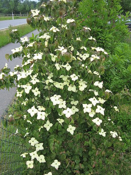 Cornus kousa chinensis / Chinesischer Blumenhartriegel