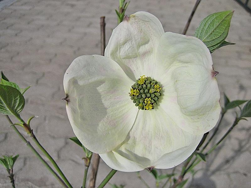 Cornus nuttallii 'Ascona' / Blumenhartriegel 'Ascona'