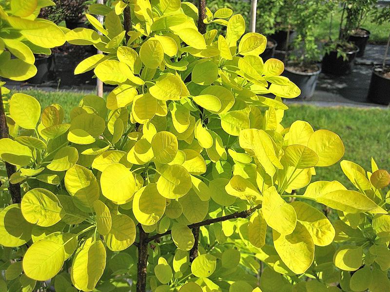 Cotinus coggygria 'Golden Spirit' / Gelblaubiger Perückenstrauch