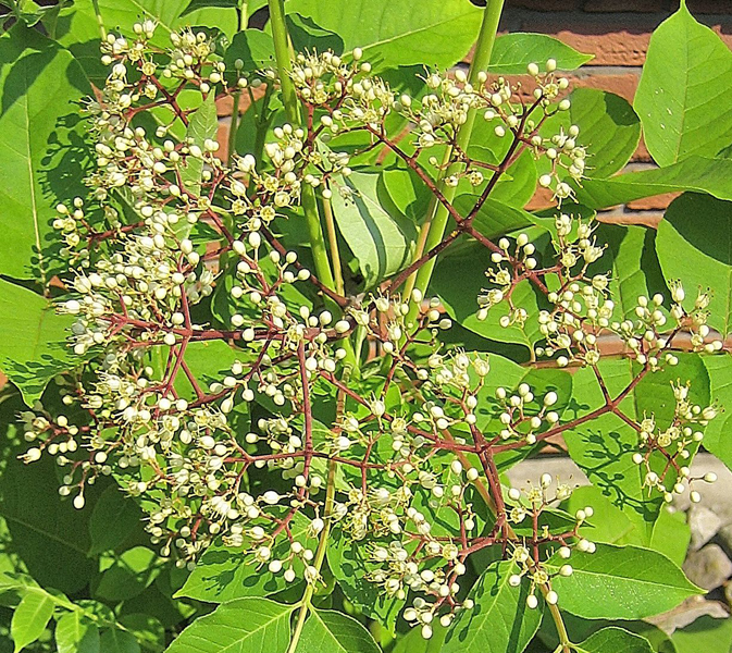 Euodia hupehensis / Stinkesche