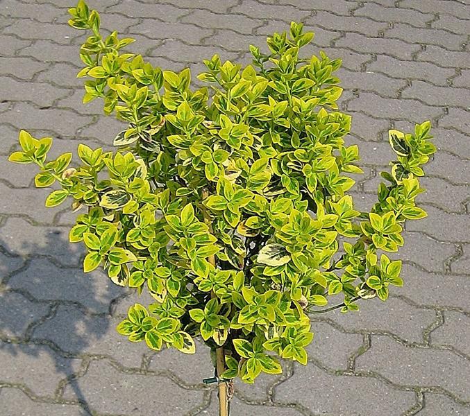 Euonymus fortunei 'Emerald´n Gold' / Kriechspindelstrauch