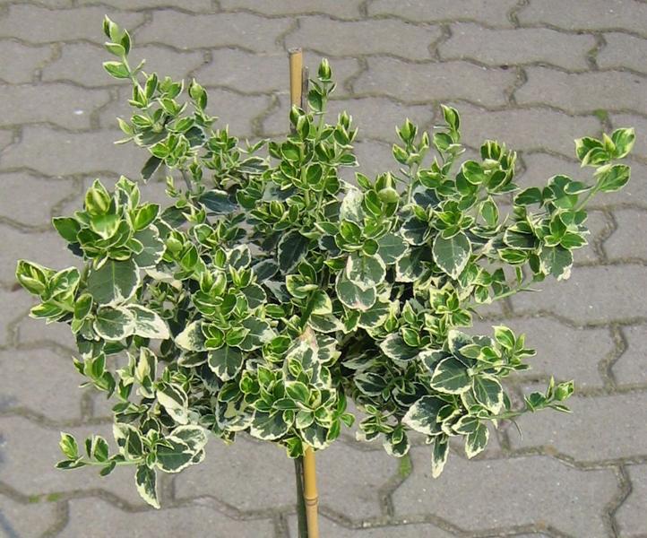 Euonymus fortunei 'Silver Queen' / Kriechspindelstrauch