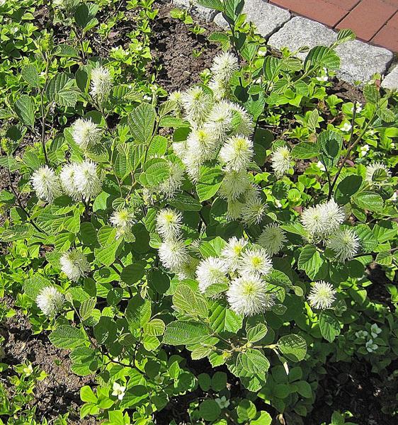 Fothergilla gardenii / Federbuschstrauch