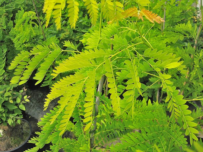 Gleditsia triacanthos 'Sunburst' / Gold-Lederhülsenbaum