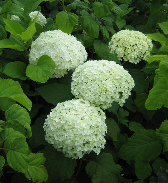 Hydrangea arborescens 'Annabelle' / Hortensie