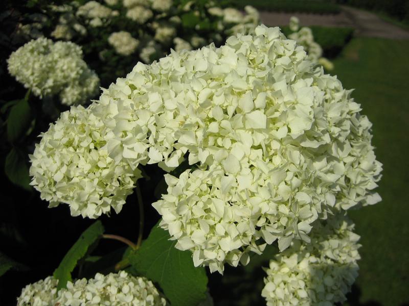 Hydrangea arborescens 'Grandiflora' / Hortensie