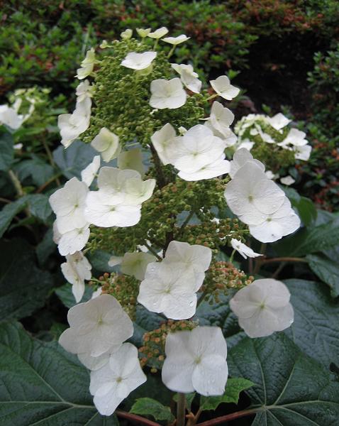 Hydrangea quercifolia / Eichenblatt-Hortensie