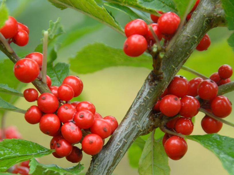 Ilex verticillata 'Red Couple' / Rote Winterbeere 'Red Couple'