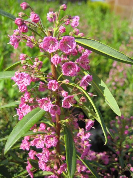 Kalmia angustifolia 'Rubra' / Schmalblättrige Lorbeerrose